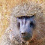 Baboon in Lake Manyara National Park
