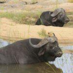 buffalo-africa