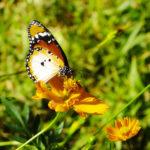butterflys-africa