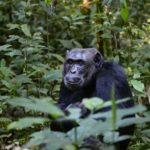 Chimpanzees of the Forest