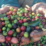 coffee-beans-rwanda