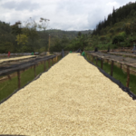 coffee farm drying