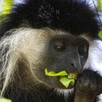 colobus-monkey