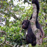 congo-gorilla-chimpanzee-tours