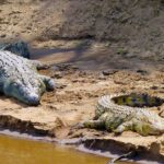 Crocodiles on Riverbank