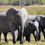 elephants-swamp