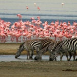flamingo and elephants on lake