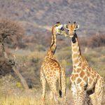giraffe-african-wildlife-tour