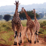 giraffes-kidepo-valley
