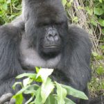 Rare Mountain Gorilla