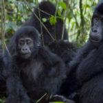 gorillas-rwanda-bwindi