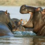 hippos-rwanda