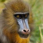 mandrill-monkey