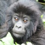 monkeys-rwanda
