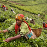 picking-tea-at-plantation-rwanda