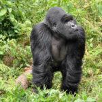 Endangered Silverback Gorillas