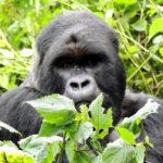 rwanda-silverback-gorilla-tours