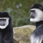 see-colobus-monkeys