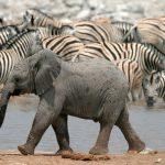 tanzania-baby-elephants-zebras