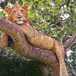 uganda-tree-climbing-lion