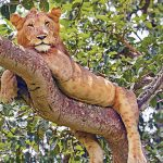 uganda-tree-climbing-lion-tours