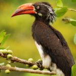 wildlife-bird-hornbill