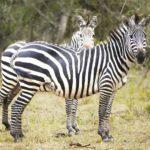 zebras-in-uganda