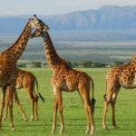 Akagera-National-Park-giraffes