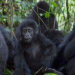 Gorilla Trekking, Bwindi