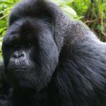 rwanda-mountain-gorilla-trekking-tours